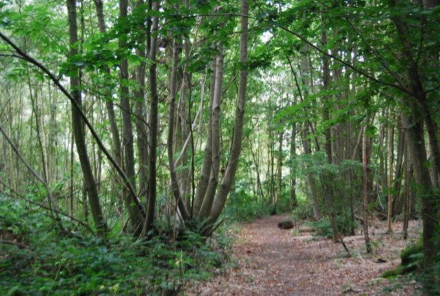 Coppiced trees by the Tunbridge Wells Circular Path, Church Wood