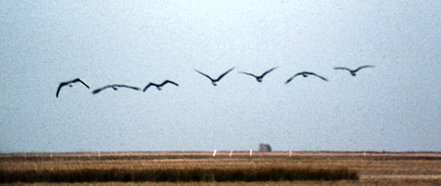 Brent Geese over Hadleigh Marshes, 1983