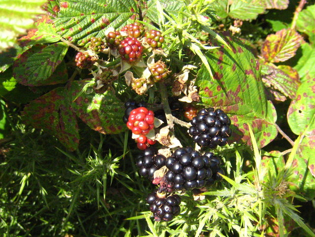 Blackberries in the hedgerow on Beacon Drive