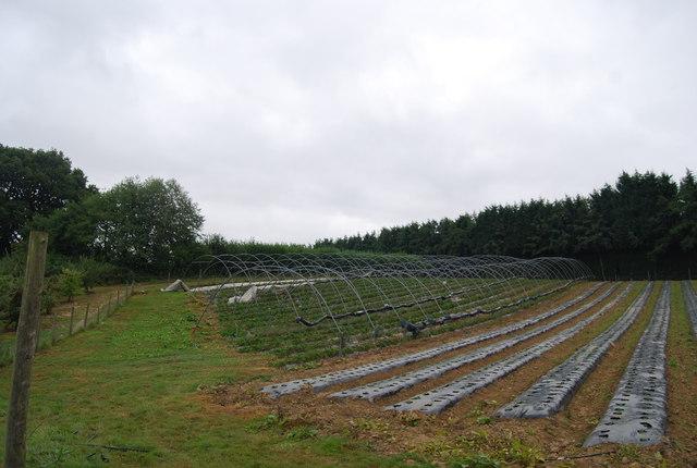 Polytunnels near Downingbury Farm