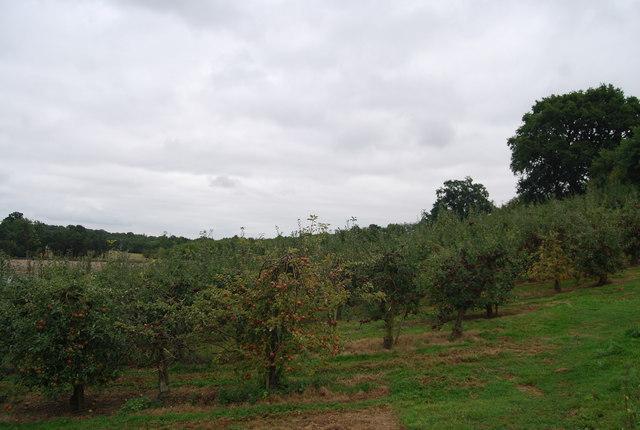 Apple orchard by the Tunbridge Wells Circular Path near Downingbury Farm