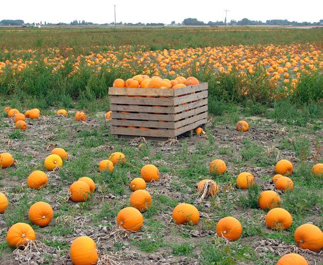 A crop of pumpkins