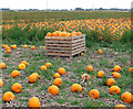 TL4799 : A crop of pumpkins by Evelyn Simak