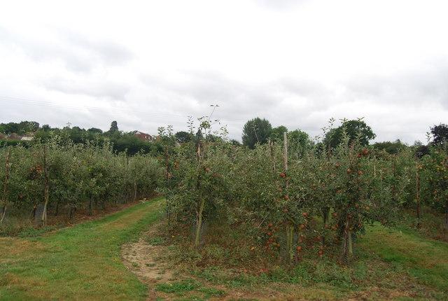 Apple Orchard, Downingbury Farm