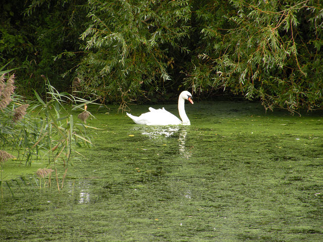 White swan in a green pond