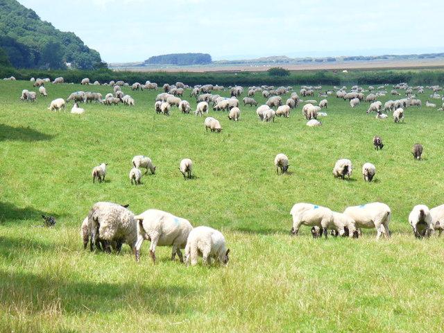 Salt Lamb, by Weobley