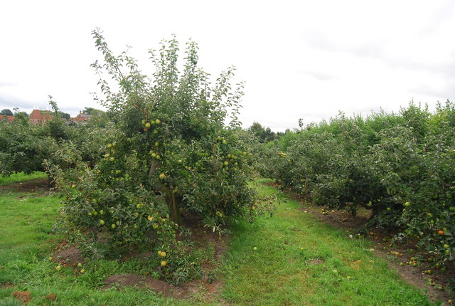 Apple (Bramley) orchard, Pippin Farm