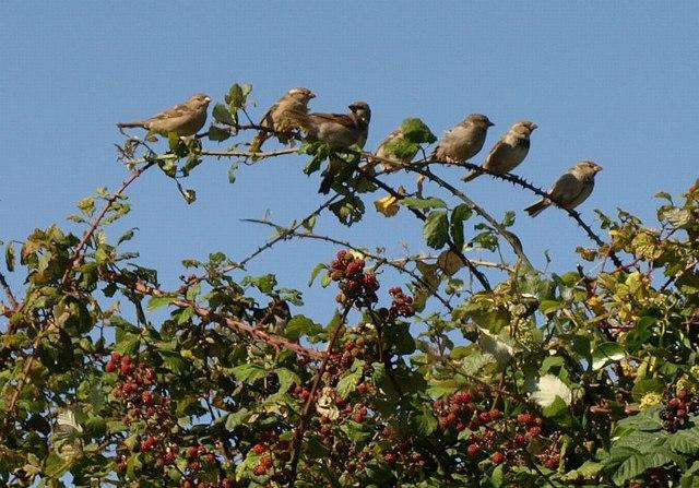 Sparrows near South Allington