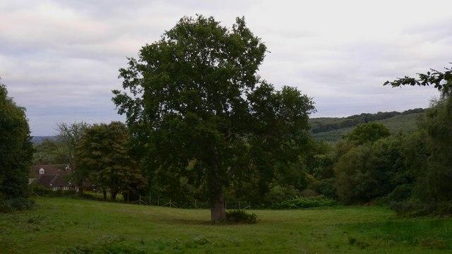 Splendid old oak