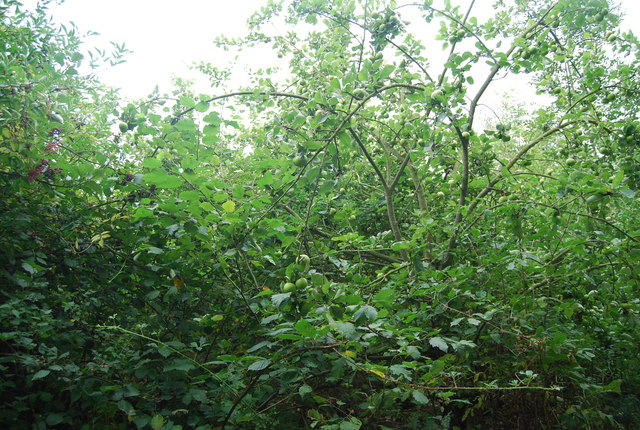An overgrown & abandoned orchard by the Tunbridge Wells Circular Path