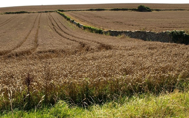 Barley near Chivelstone