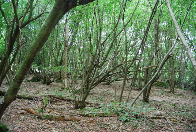 Coppiced trees, Snipe Wood