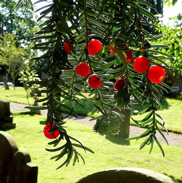 Scarlet yew-berries