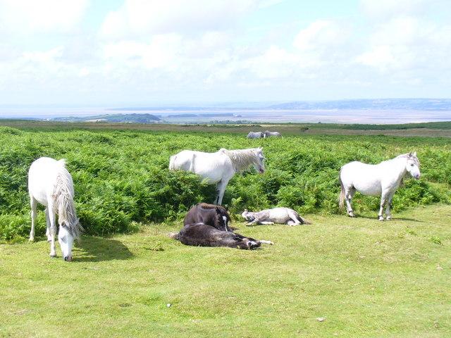 Free Range Ponies near Arthur's Stone