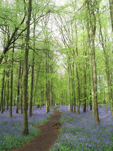 Bluebells at Dockey Wood, Ashridge