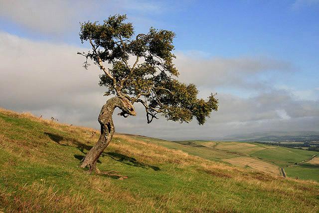 A windswept tree on Hogg Hill