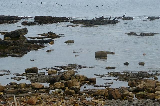 Seabirds off Beadnell