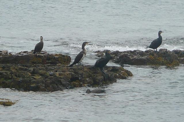 Cormorants at Beadnell