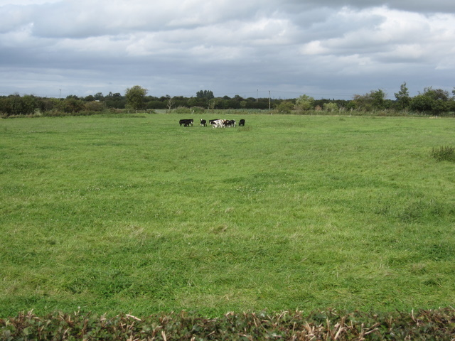 Young cattle near Cop House Farm