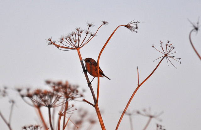 Stonechat on Hogweed - Nash Point