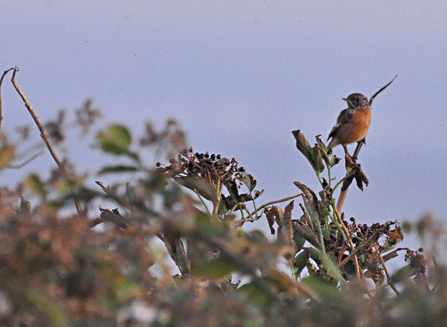 Stonechat and Elderberries - Nash Point