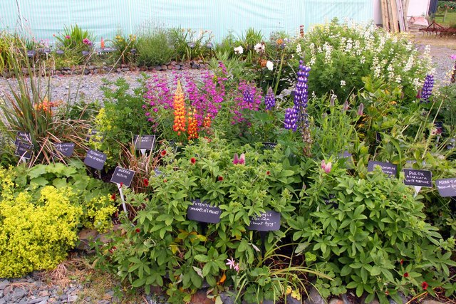 Lupin display in West Country Nurseries
