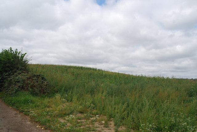 Field of Maize by the Tunbridge Wells Circular Path near Little Bayhall Farm