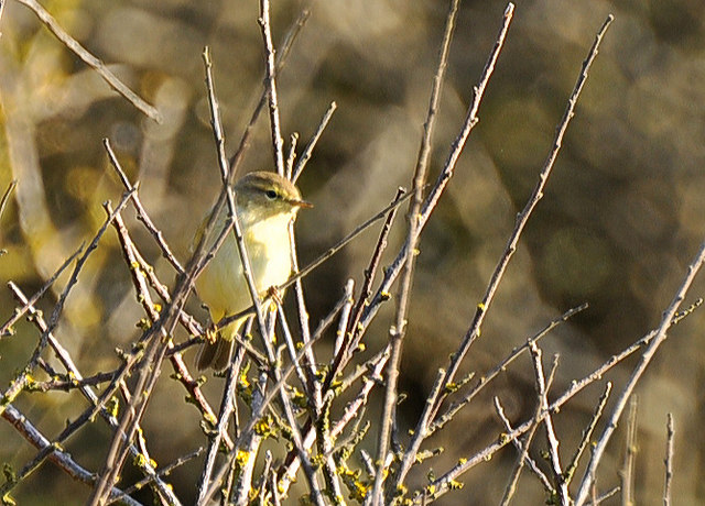 Willow Warbler - Nash Point