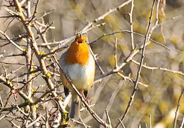Robin singing to front of house - Nash Point