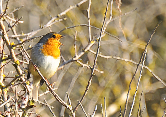 Robin in song - Nash Point