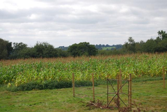 Field of maize by the Tunbridge Wells Circular Path, High Woods