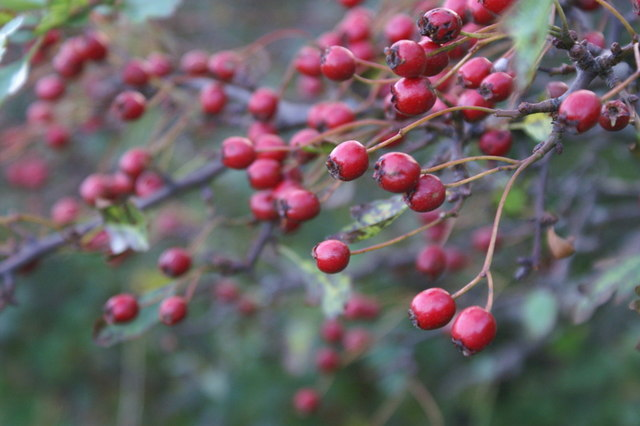 Hawthorn berries, Halligarth, Baltasound