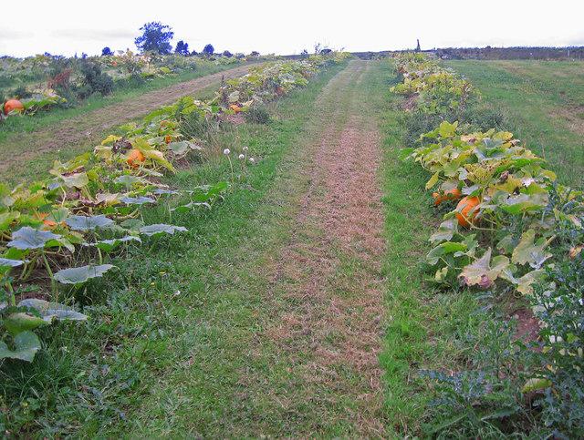 Pumpkin Patch, Brocks Bushes