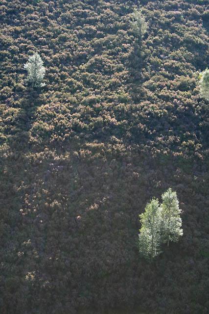 Birches near Deer Holes