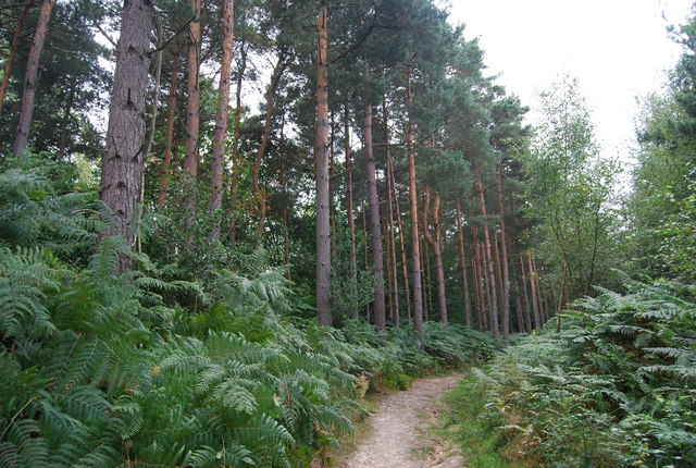 Conifers by the Tunbridge Wells Circular Path, Chase Wood