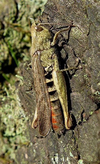 A grasshopper in Camp Plantation
