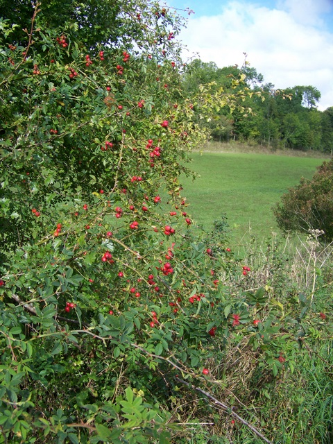 Rose hips, Throope Bottom
