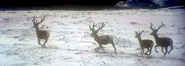 Red Deer on Kilmory Beach