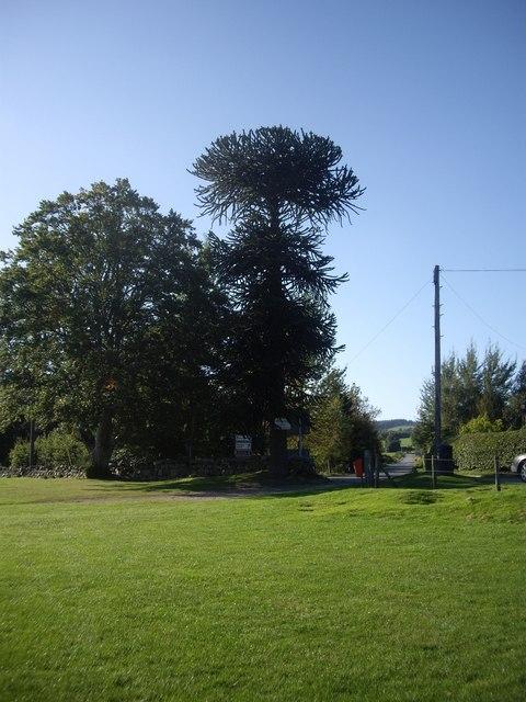 A tall conifer by road junction in Finzean