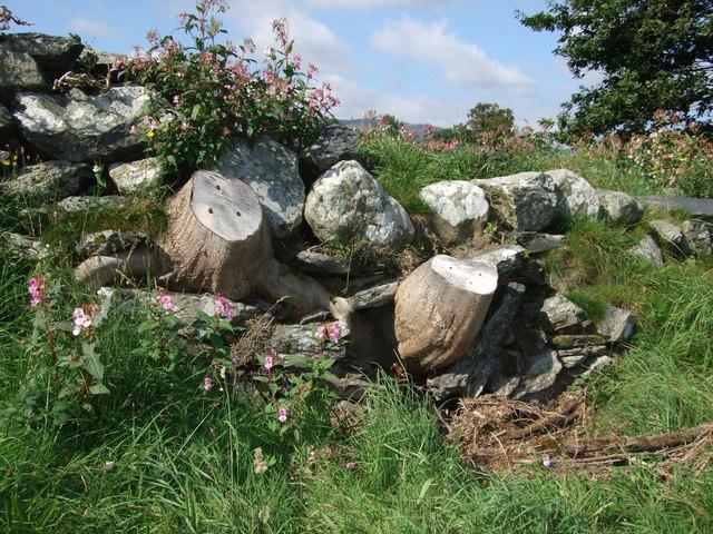 Old tree stumps in dry stone wall Llanrwst