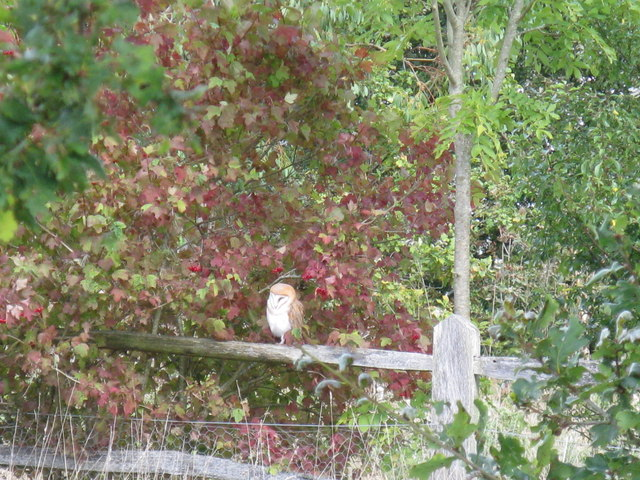 Barn Owl near Gemsbrook