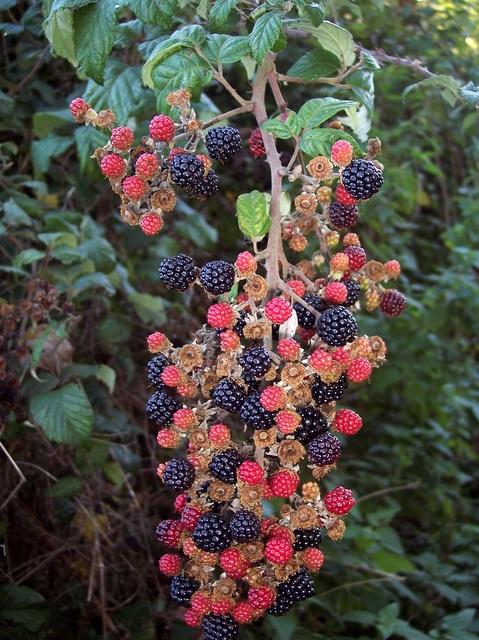 Blackberries, Pitts Lane