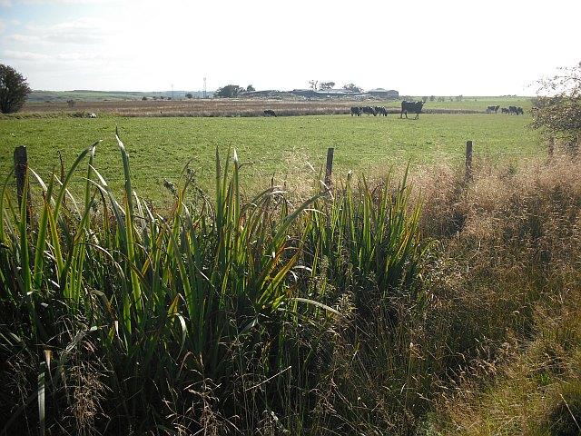 Cattle, Easterton