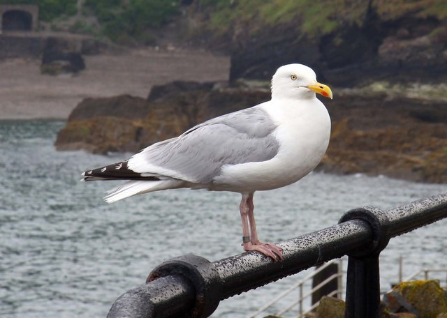 A seagull at Ilfracombe