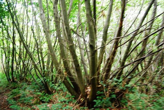 Coppiced tree near Eridge Rocks