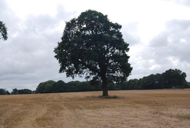 Tree in a stubblefield by the Tunbridge Wells Circular Path, Warren Farm, Eridge Green