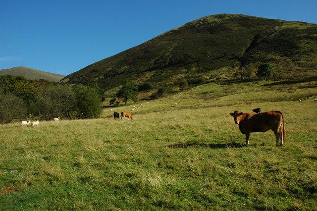 Cattle in Cwm Cywarch