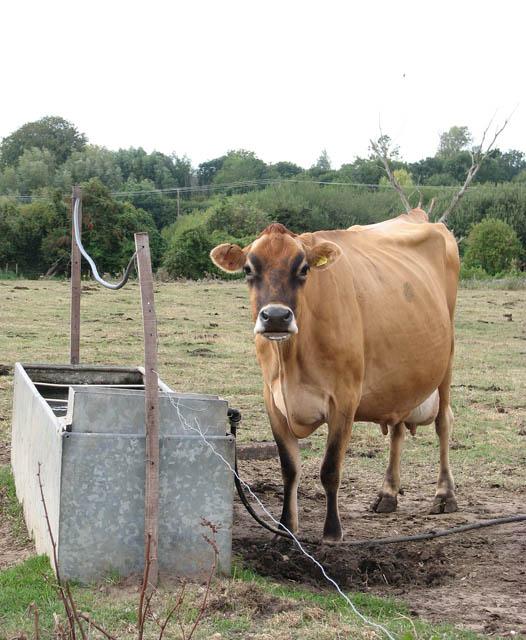 Cattle watering trough