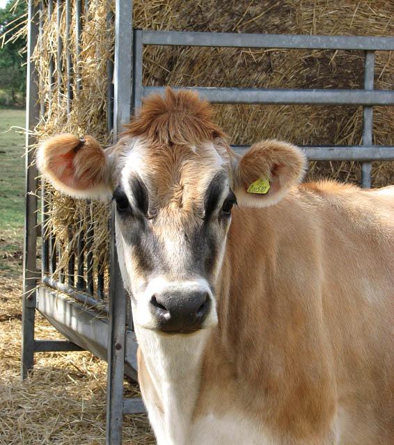 Portrait of a Jersey heifer