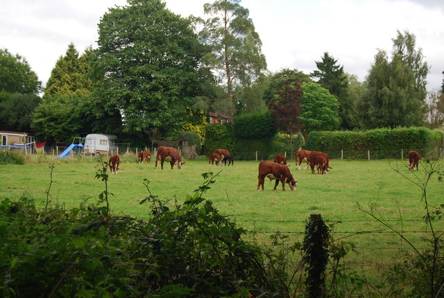 Cattle by the Tunbridge Wells Circular Path